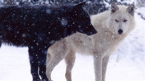 white wolf and black wolf 1600x1200 wallpapers wolf black wolf in snow wallpapers gzsihai com