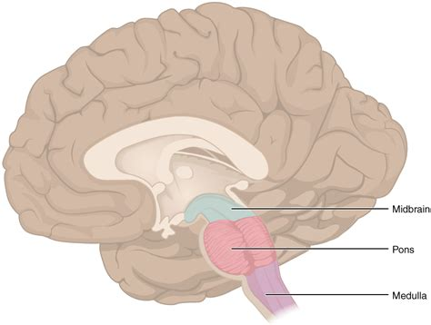 Brains Not by Top 10 Parts Of The Brain Degreed