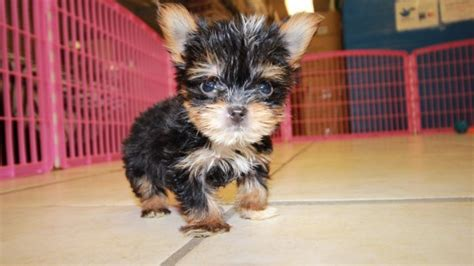 yorkie poos for sale in ga charming teacup yorkie puppies for sale in at puppies for sale local breeders