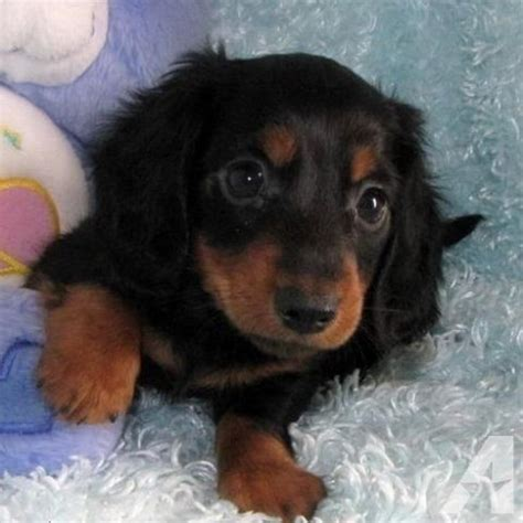 mini dachshund puppies for sale miniature dachshund puppies for sale arkansas dogs in our photo