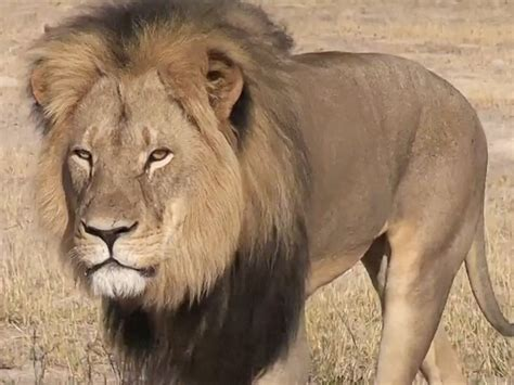 the lion and the the tragic story of cecil the lion business insider