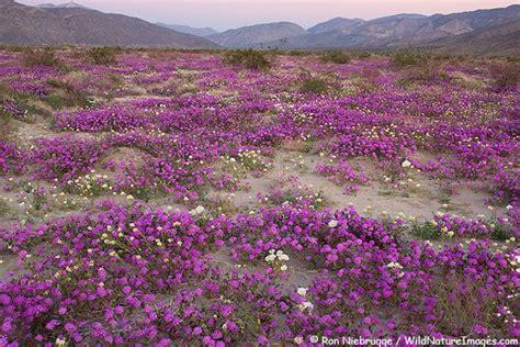 anza borrego desert flowers desert wildflowers desert sand verbena and dune evening