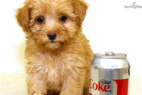 maltipoo puppies for sale in wisconsin maltipoo puppy rescue breeds picture