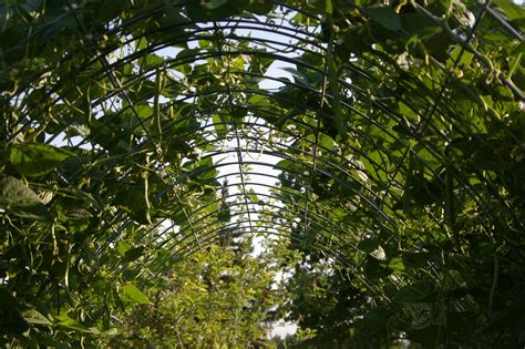 Green Trellis Magic The Arched Bean Trellis