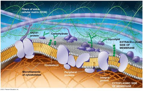 plasma membrane structure anatomy physiology