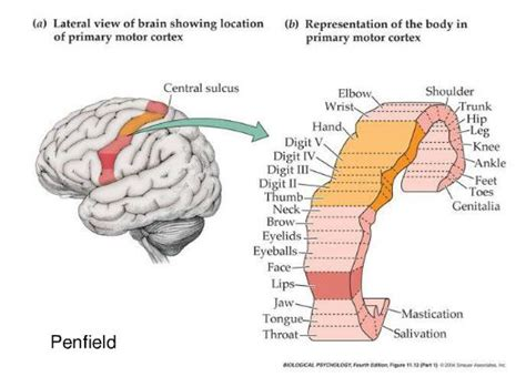 right motor cortex damage human physiology