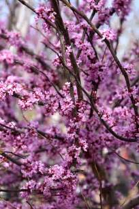 ace of hearts redbud cercis canadensis ace of hearts