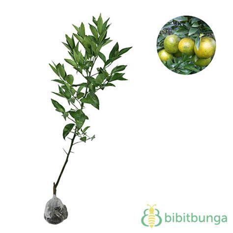 Bibit Jeruk Santang Berkualitas tanaman jeruk keprok garut bibitbunga