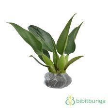 Bibit Tanaman Hias Philo Katak tanaman philodendron moonlight philodendron