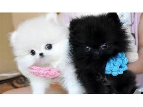 white teacup pomeranian for sale 2 akc black white teacup pomeranian pups left for sale in aberdeen kentucky
