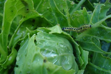 pests in garden vegetable garden pests keeping pests out of vegetable gardens