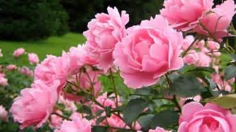 Pink rose bush wallpaper forwallpaper pink rose bush wallpaper
