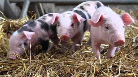 Baby Pigs   www.pixshark.com   Images Galleries With A Bite!