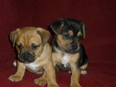 pug and beagle breed pug and beagle puggle pug mixed breeds beagles and pug