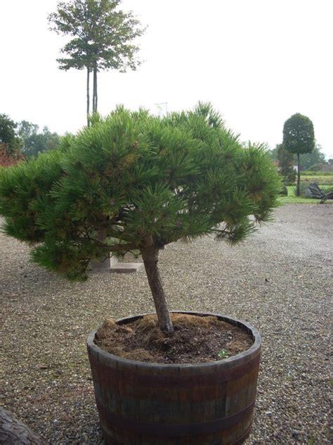 Bomen In Pot Op Terras by Bomen En Heesters Groenblijvers