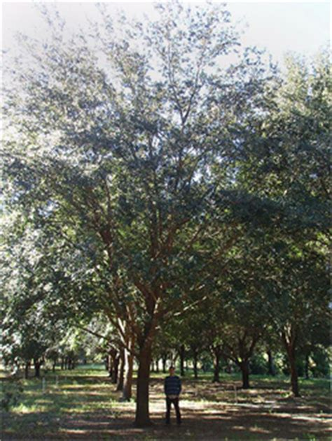 live tree sales large specimen live oak trees for sale by