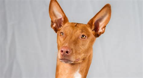 pharaoh hound puppies pharaoh hound breed information american kennel club
