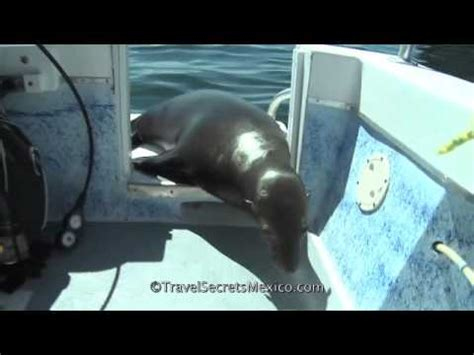 sea lion dive boat sea lion inspects dive boat youtube