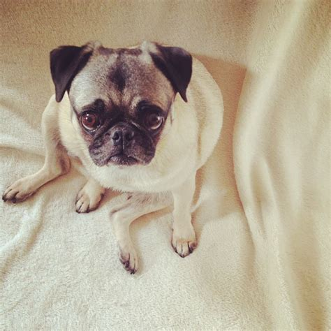 indiana pug rescue 17 best images about henry the rescue pug on adoption san diego and