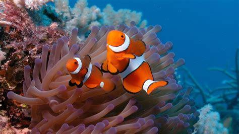 full hd wallpaper anemonefish underwater exotic fish