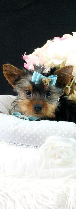teacup yorkie for sale in florida 199 best teacup dogs images on fluffy pets puppies and cutest animals