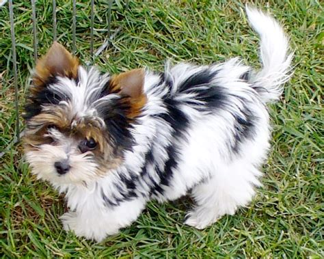 what is a biewer yorkie terrier puppies breeders terriers breeds picture
