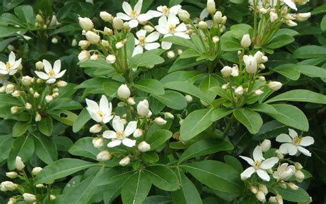evergreen shrubs with white flowers fragrant flowers mexican orange blossom choisya ternata