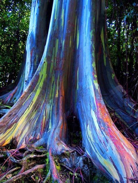 rainbow trees rainbow eucalyptus
