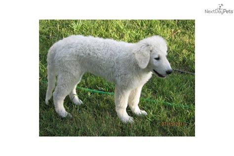 kuvasz puppies for sale kuvasz puppy for sale near helena montana eb03317b beb1