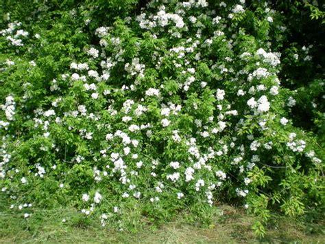cespuglio fiorito foto cespuglio fiorito dall album foto profilo di errepi01