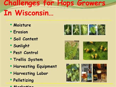 Hop Trellis System Midwest Hops And Barley Co Op