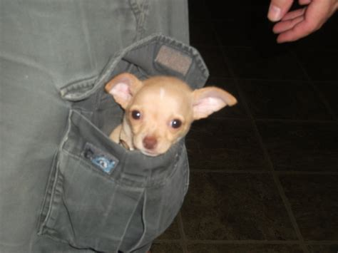 puppies indiana puppy in a pocket puppies photo 31509289 fanpop