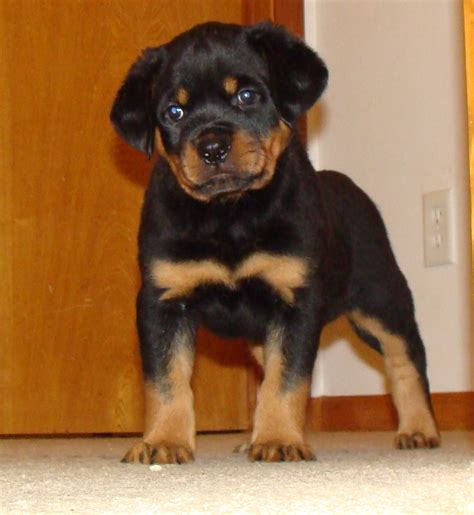 rottweiler in german rottweiler in the world www pixshark images galleries with a bite
