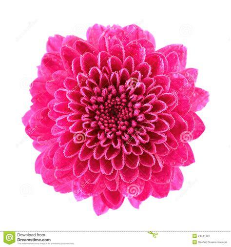 Chrisant Flower roze chrysant royalty vrije stock fotografie afbeelding