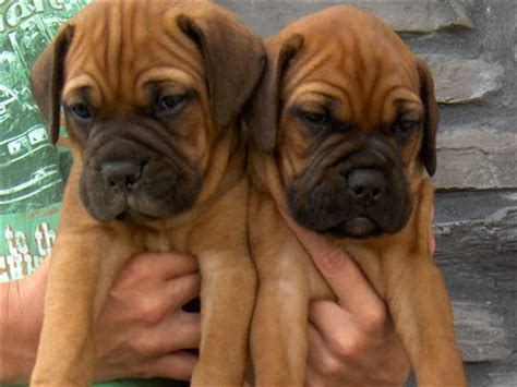 bullmastiff puppies for sale bullmastiff puppies sale classified by iowa bullmastiffs pets for sale
