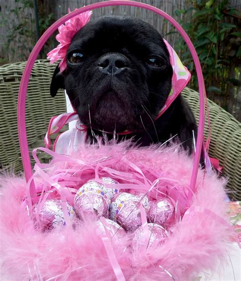 easter pug black easter pug photo and wallpaper beautiful black easter pug pictures