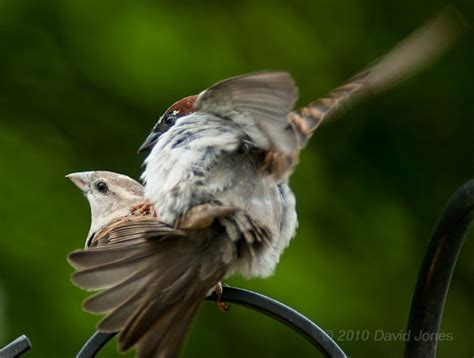 house sparrows mating 20 may 2010