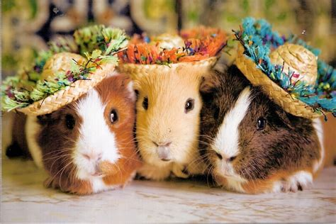 three s funny guinea pig picture for desktop funny animal