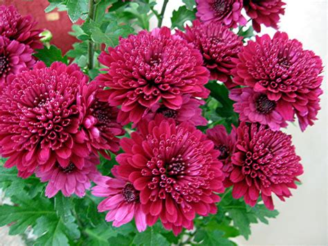 mums flower chrysanthemum flower pictures white red chrysanthemum
