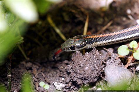 billige kerzen bestellen garden snake tongue garter snake tongue macro a