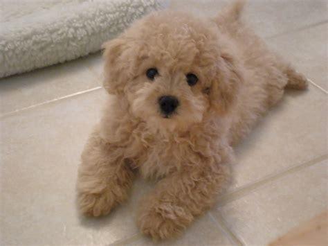 designer dogs lhasa poo designer dogs breed standards