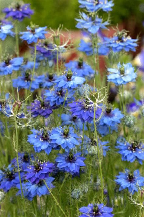 blue love   mist seeds nigella damascena  lestary