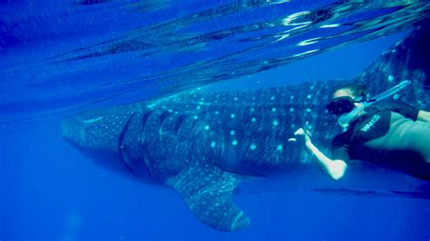 Paket Snorkling Orca 2016 Lifejacket Atunas swimming with the whale sharks cancun riviera mexico
