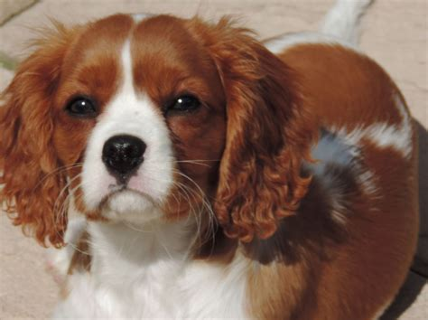 cavalier king charles puppies for sale in regalo splendidi cuccioli di cavalier king charle sspaniel quotes