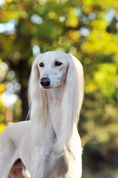 pictures of puppy 45 pictures of saluki with puppies clicks that will make you fall in