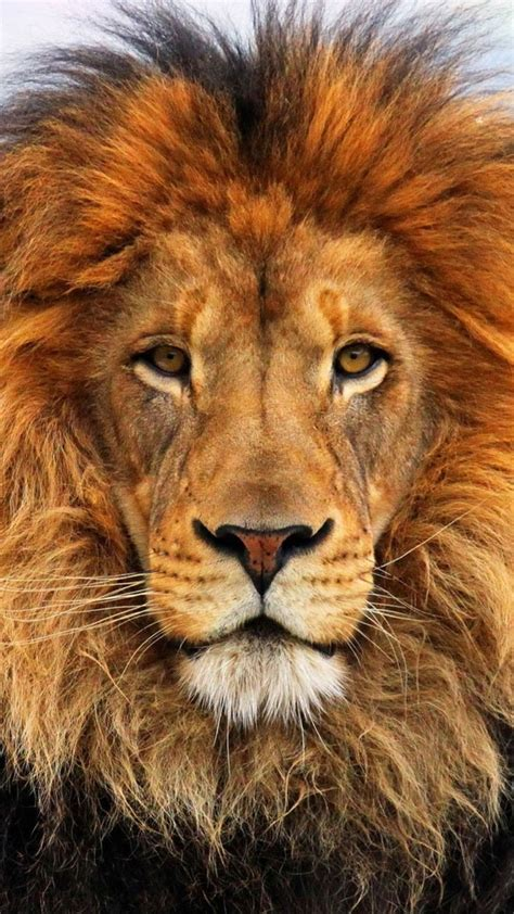 wallpaper iphone 7 lion iphone 6 colorful lion wallpaper the best lion in 2018