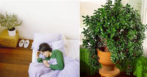 credible scientifically proven jade plant benefits
