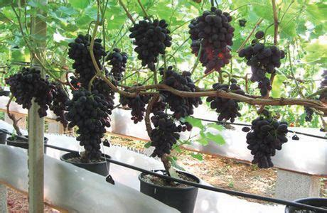 Permalink to container gardening grapes – Trees In Containers   How To Grow Container Trees
