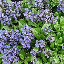 plant profile for ajuga reptans mint chip carpet bugle