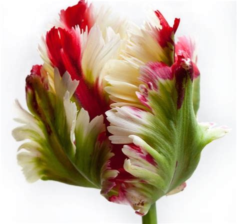 Home Design Store New York Parrot Tulips Limelight Floral Design